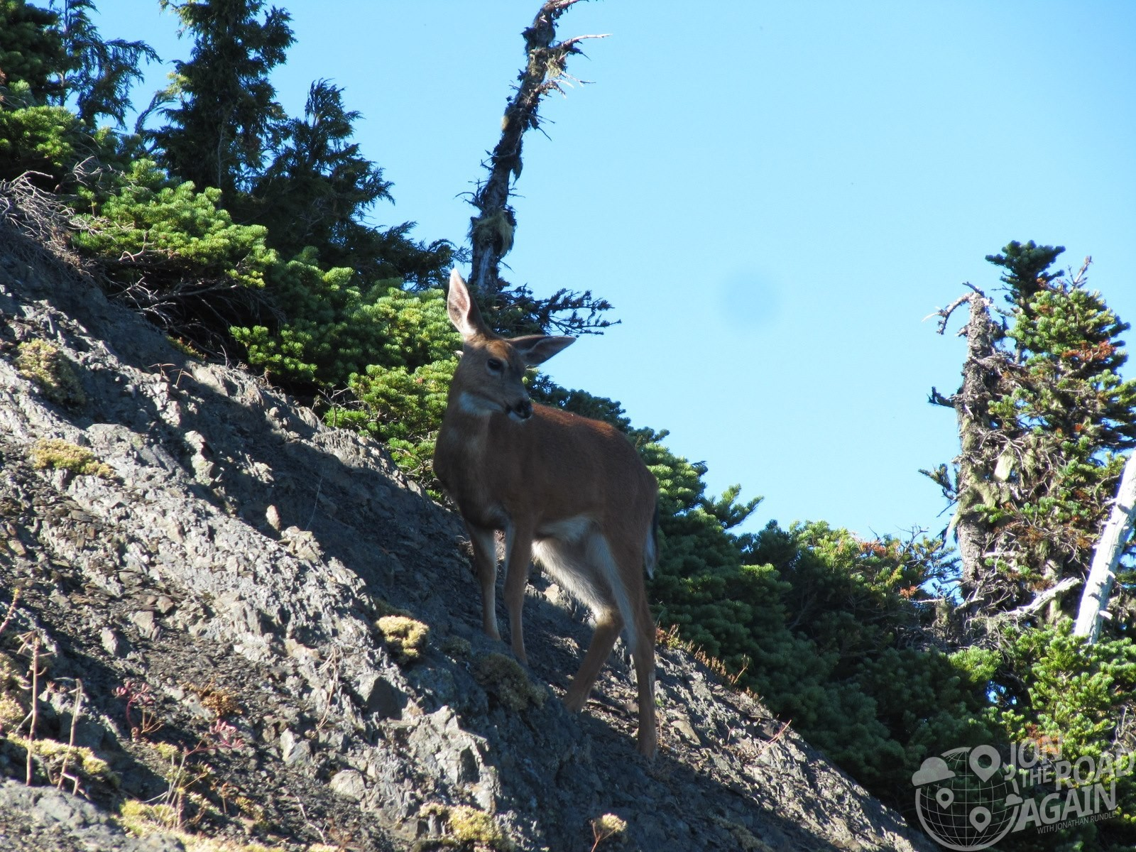 deer at hurricane ridge