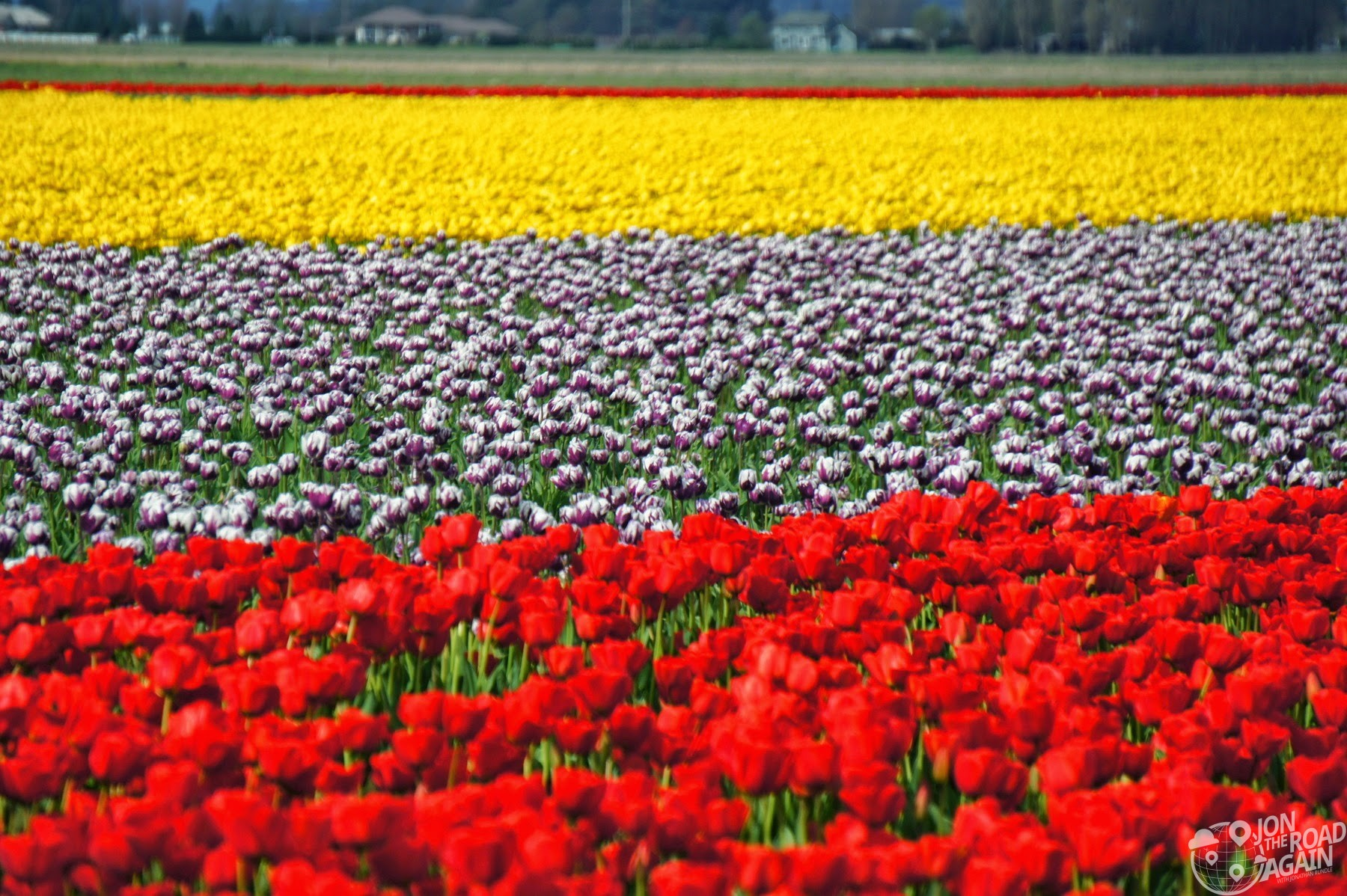 Skagit Vallet Tulip fields