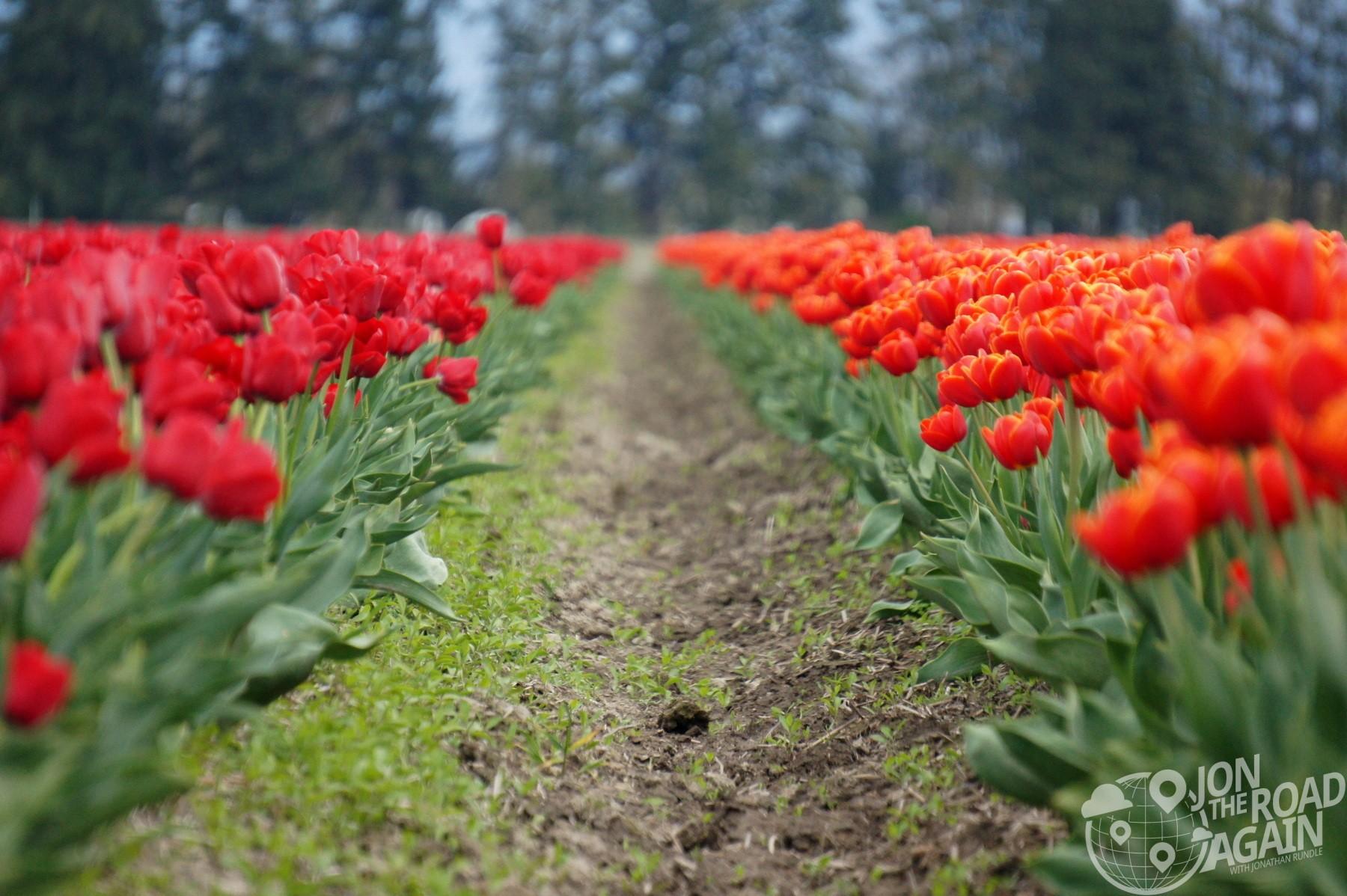 Mount Vernon (WA) United States  city photos : Skagit Valley Tulip Festival in Mount Vernon, WA Jon the Road Again