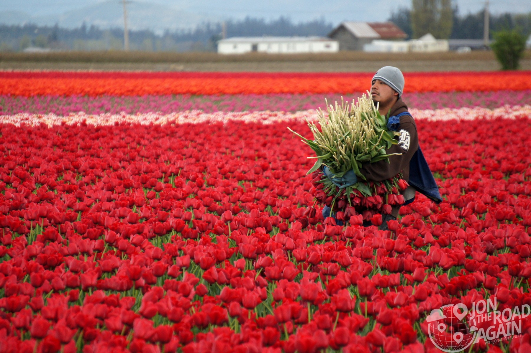 Worker harvesting the tulips