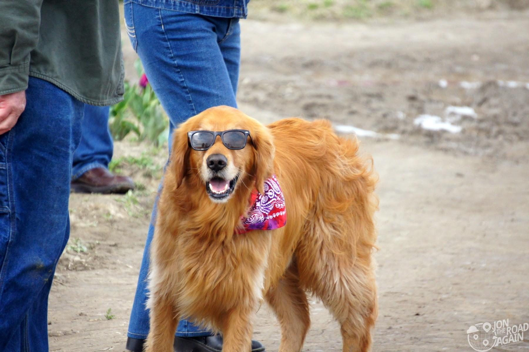Cool dog at Skagit Vallet Tulip Festival
