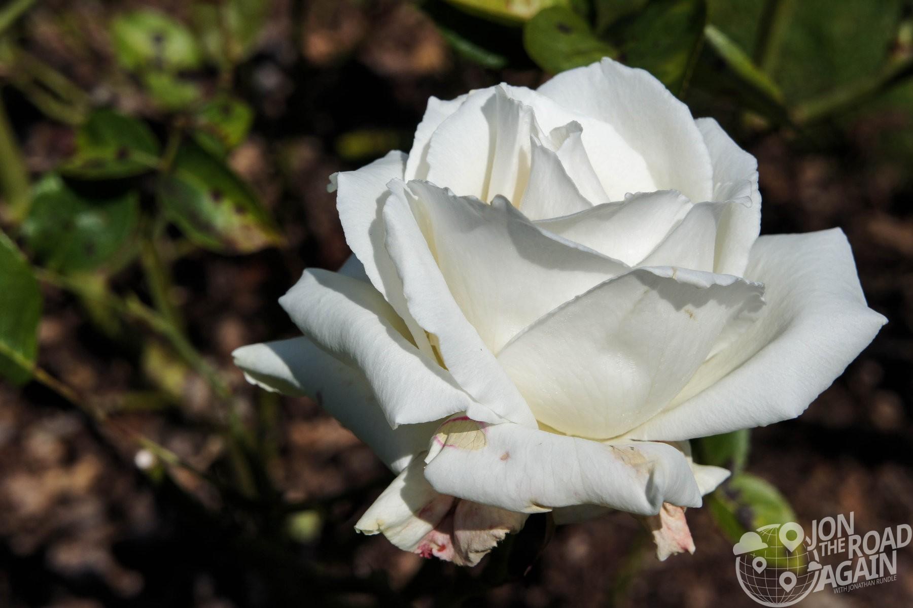 Tacoma Rose Garden