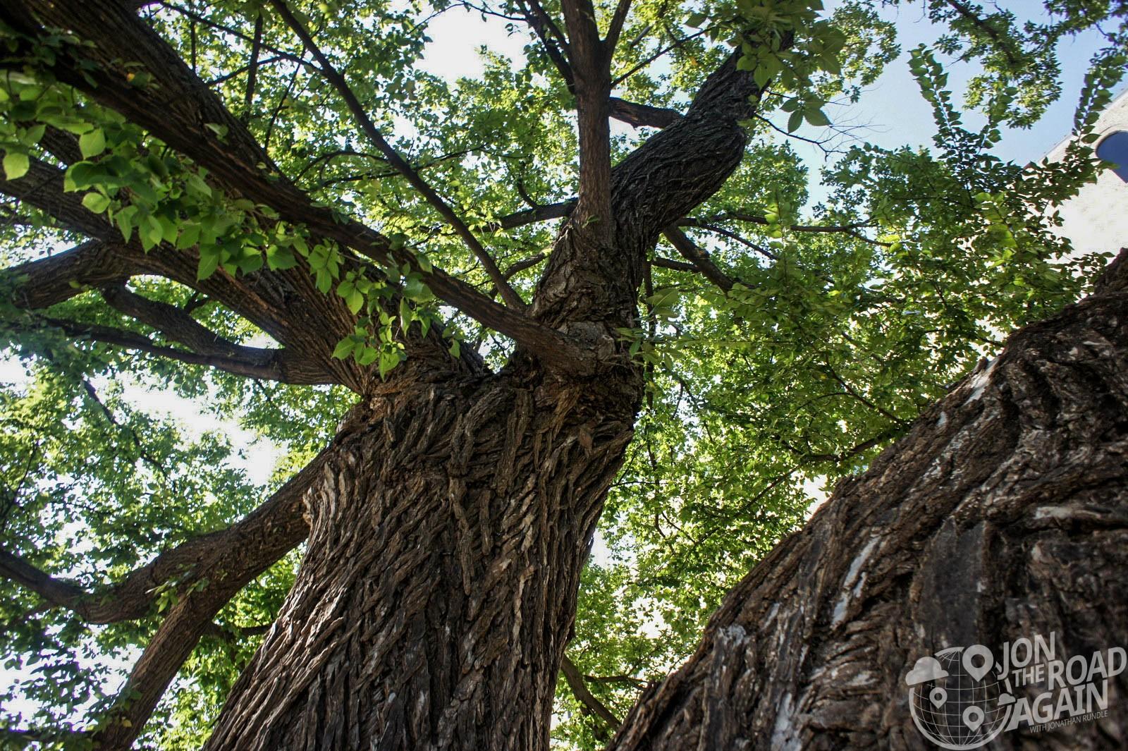 Oklahoma City Bombing Memorial Survivor's Tree