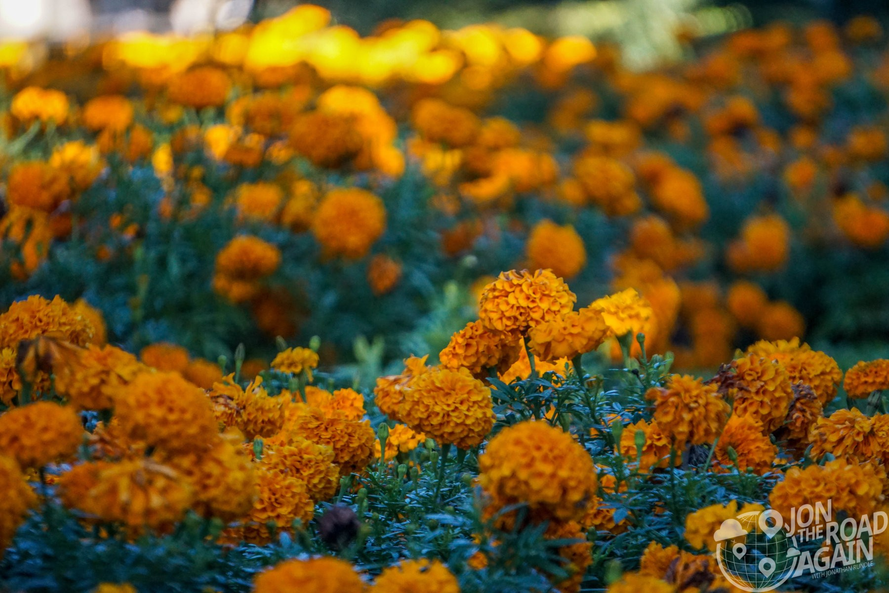 Marigolds at the Dallas Arboretum