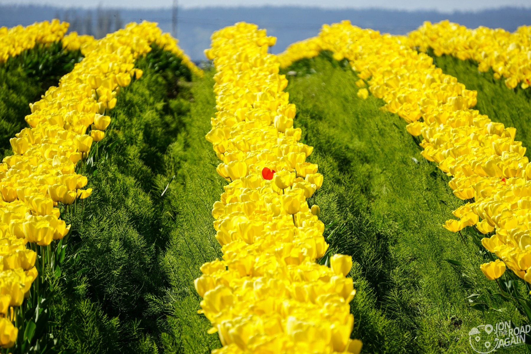 Red tulip in yellow field