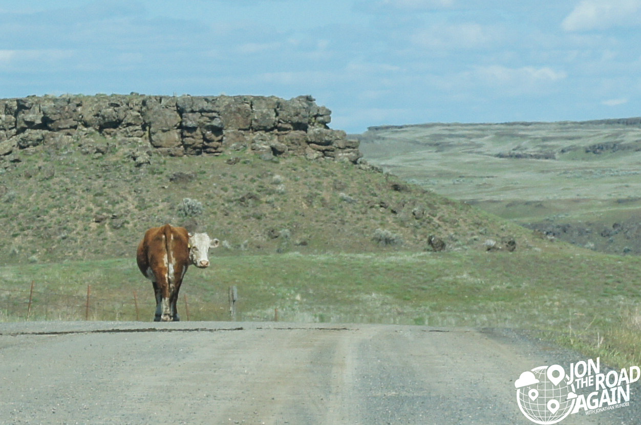 Cow in the middle of the road