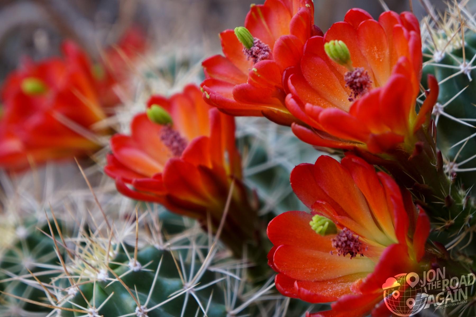 Cactus flowers in Capitol Gorge