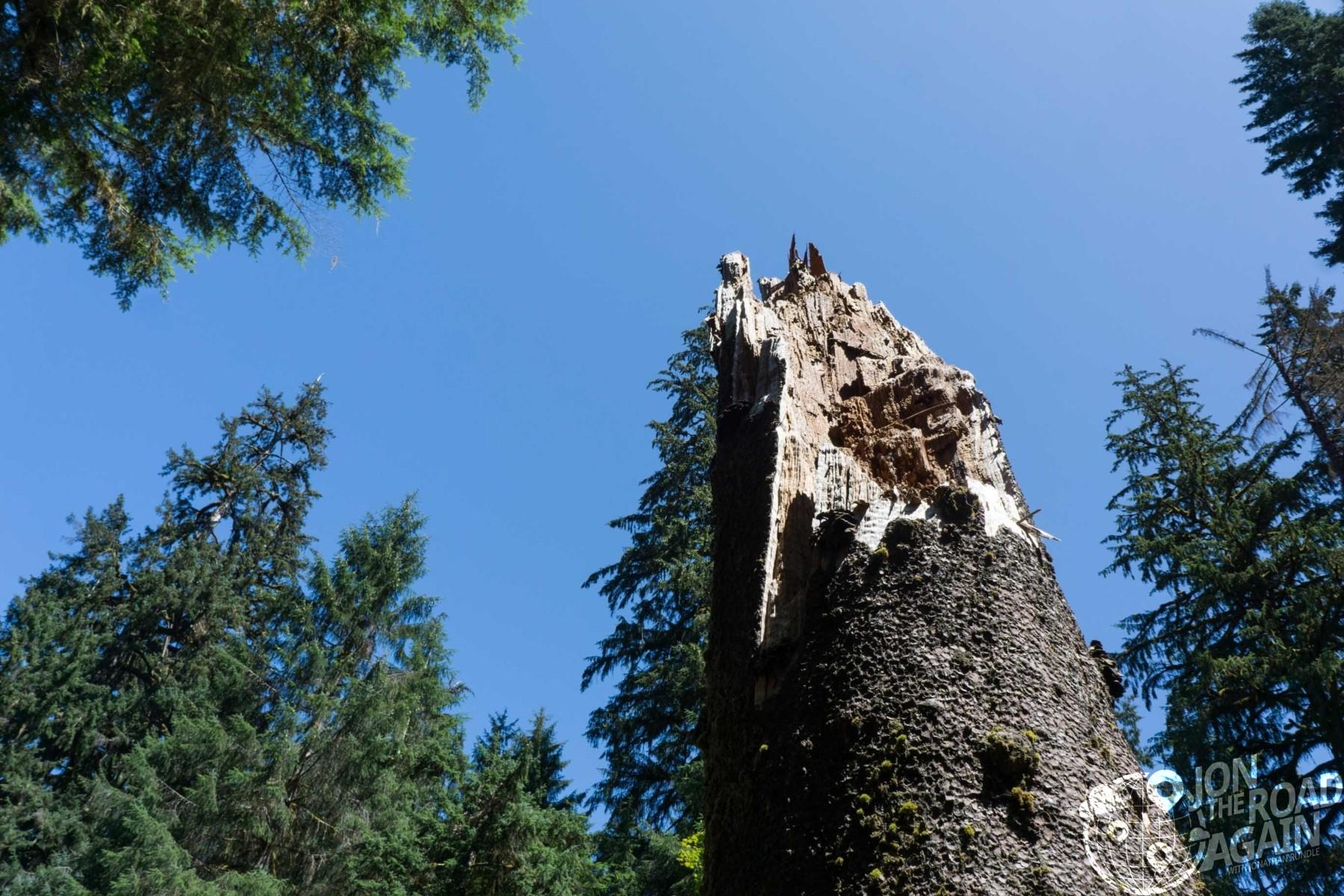 Broken spruce tree hoh