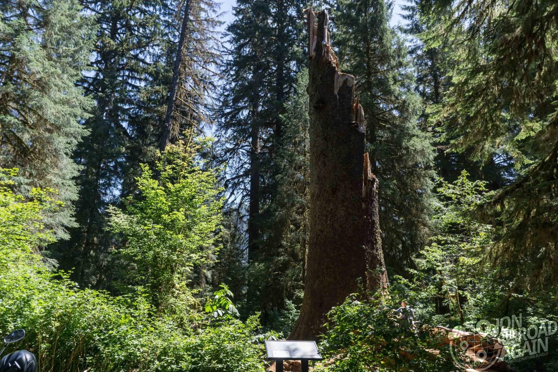 broken cedar tree hoh