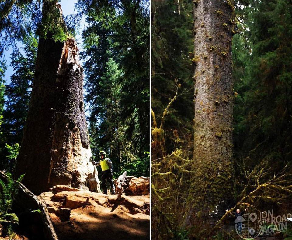matthew hoh cedar tree