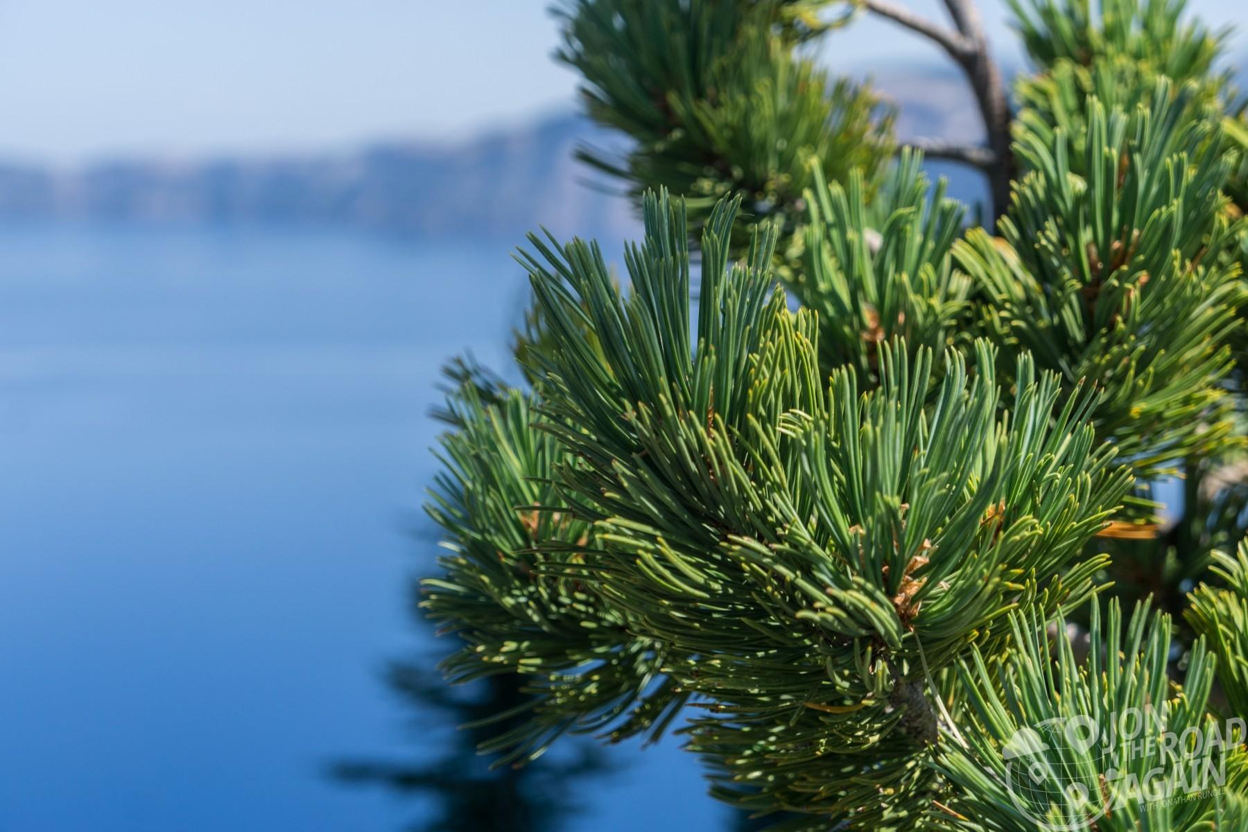 crater lake whitebark pine tree