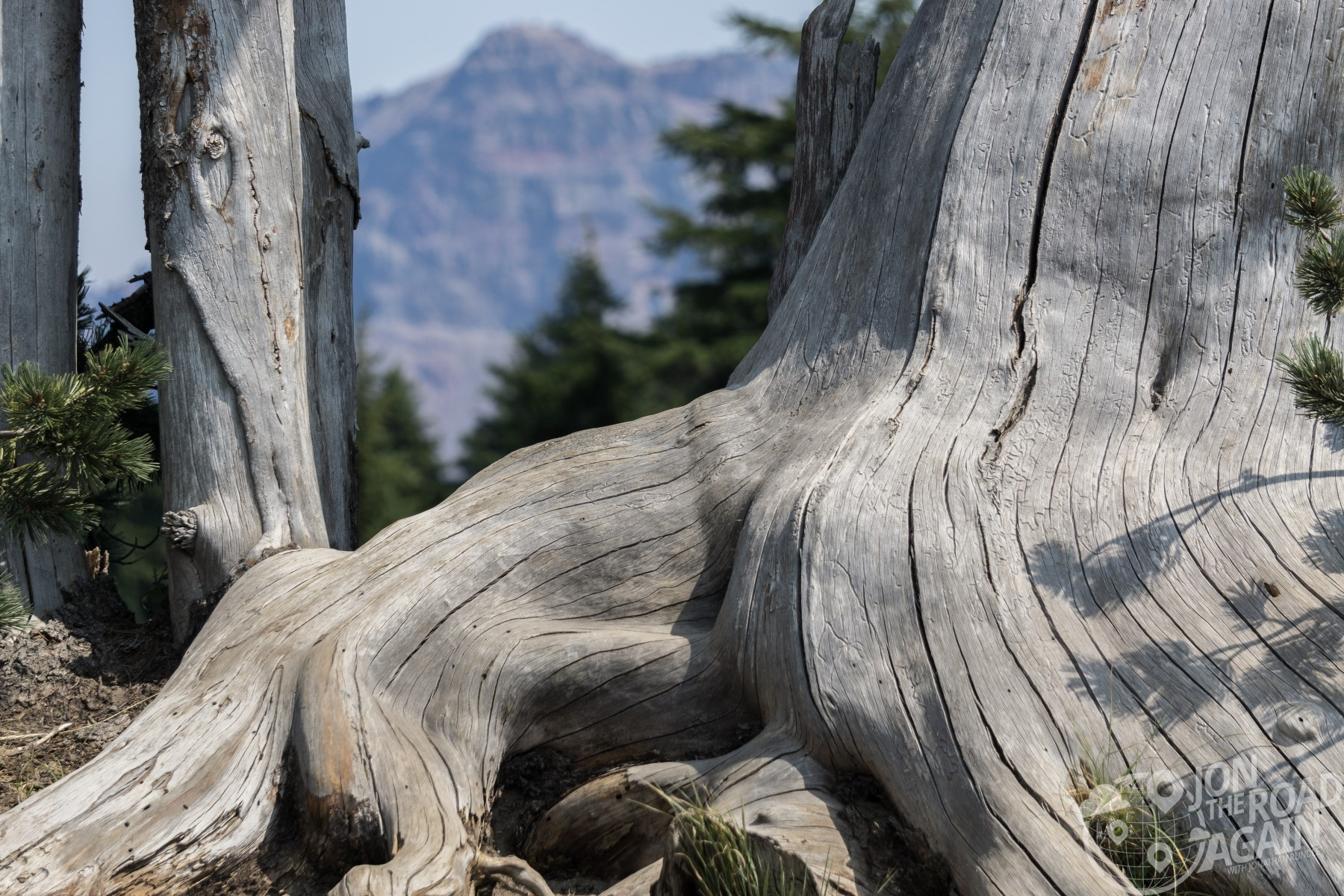 crater lake tree stump