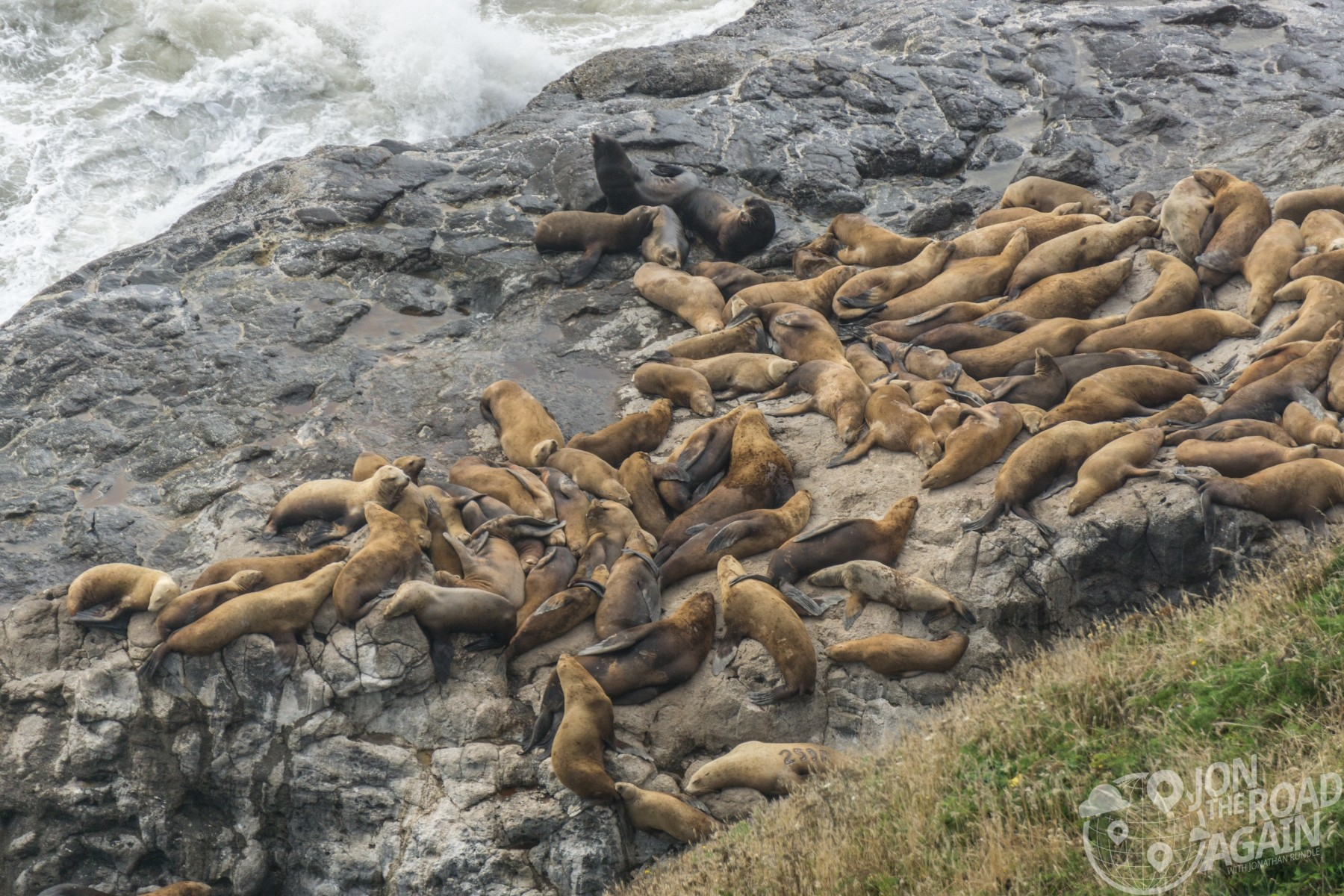 Sea Lions at Sea Lion Caves