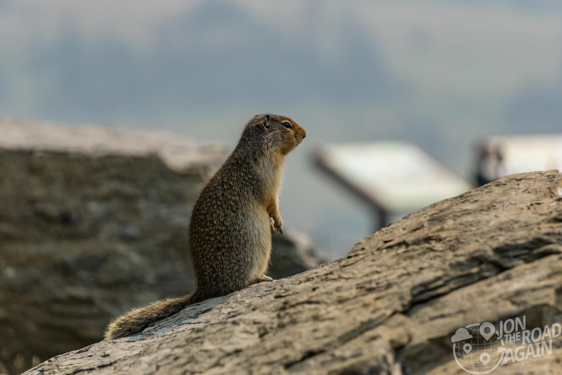 Marmot in Glacier National Park