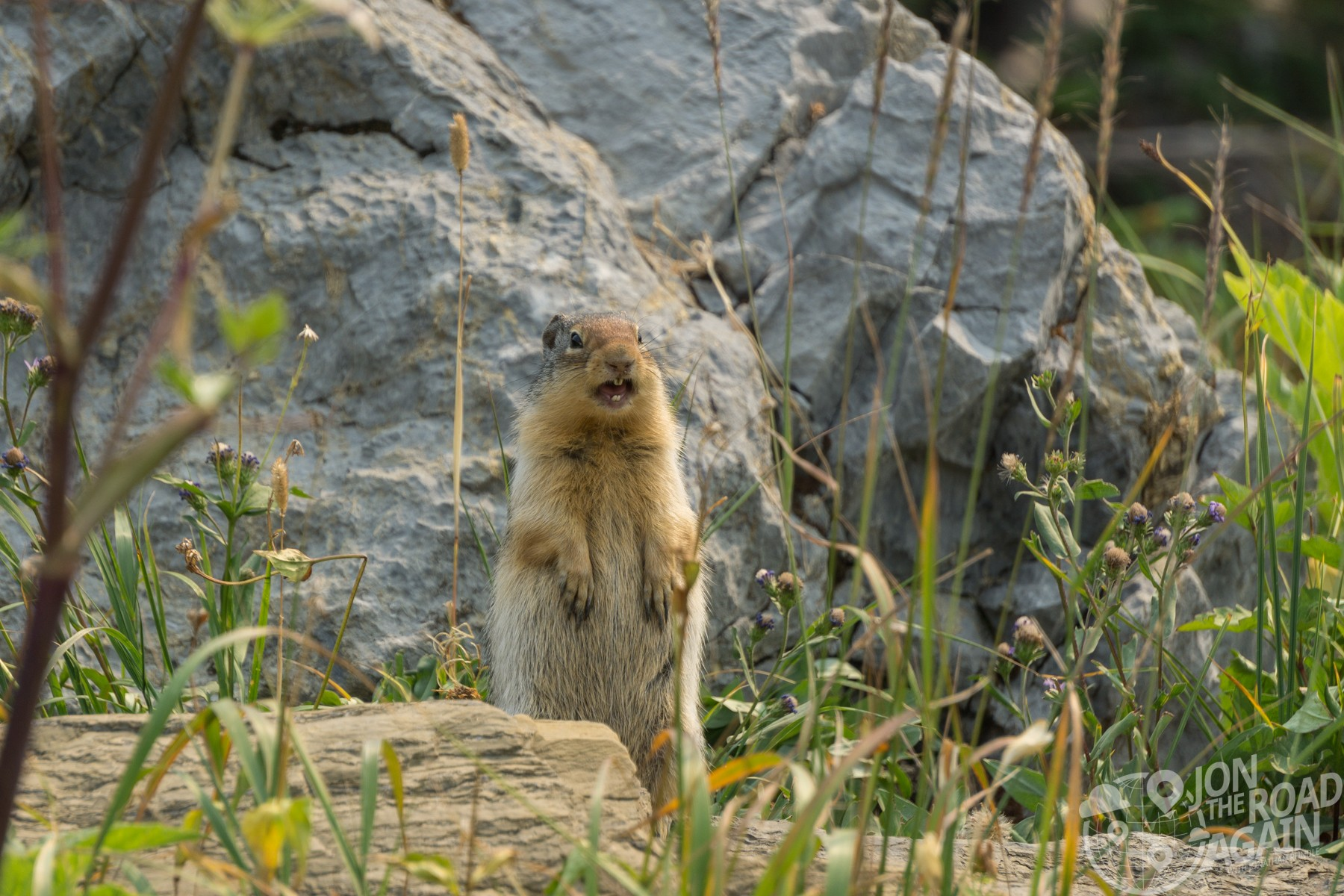 Marmot in Glacier National Park