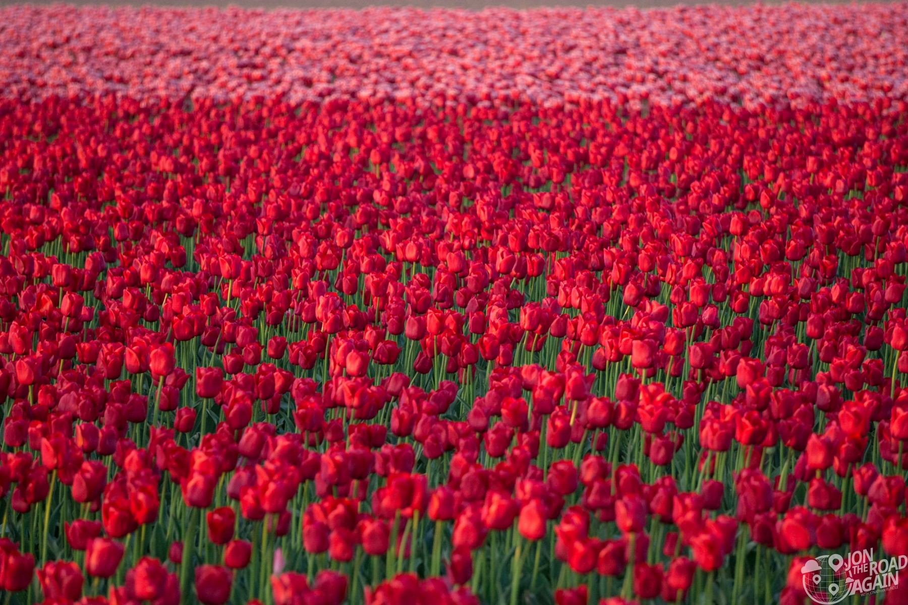 Skagit Valley Tulip Festival fields
