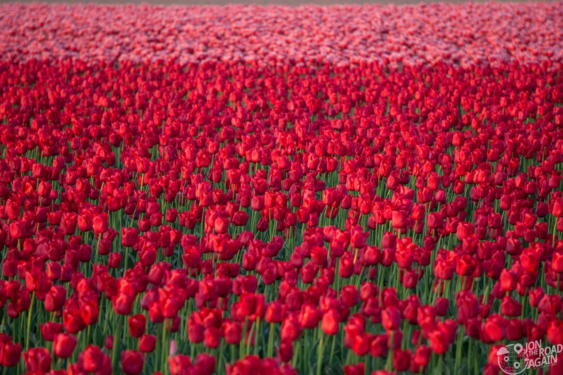 Skagit Valley Tulip Festival fields