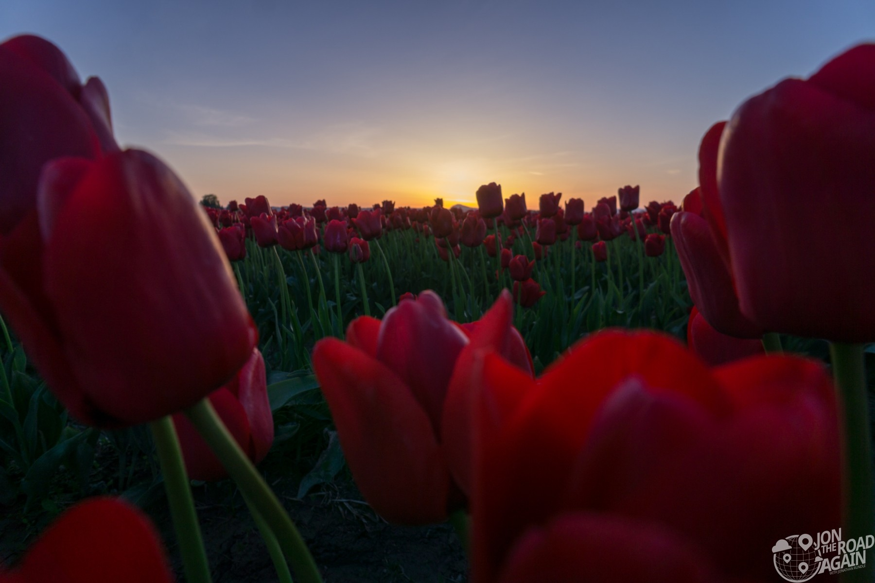 Skagit Valley Tulip Festival Sunset