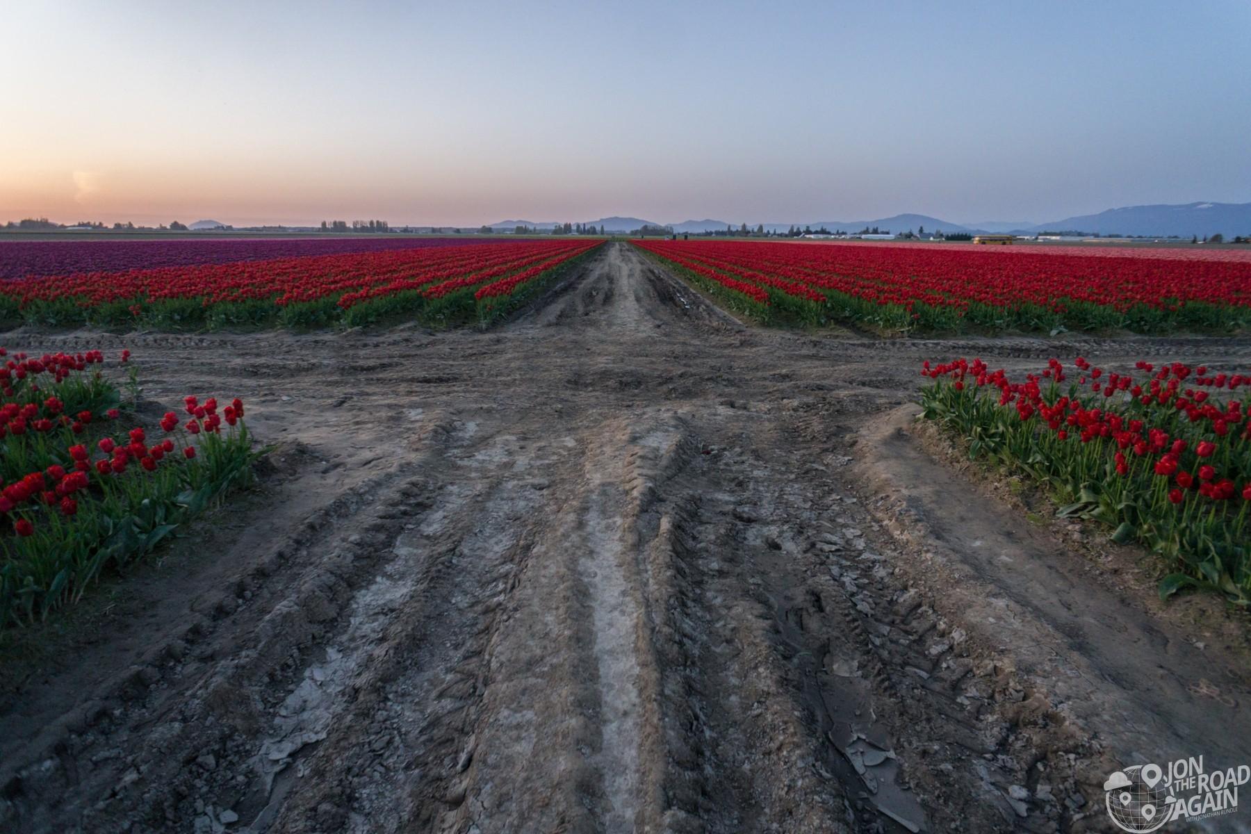 Tulip field road