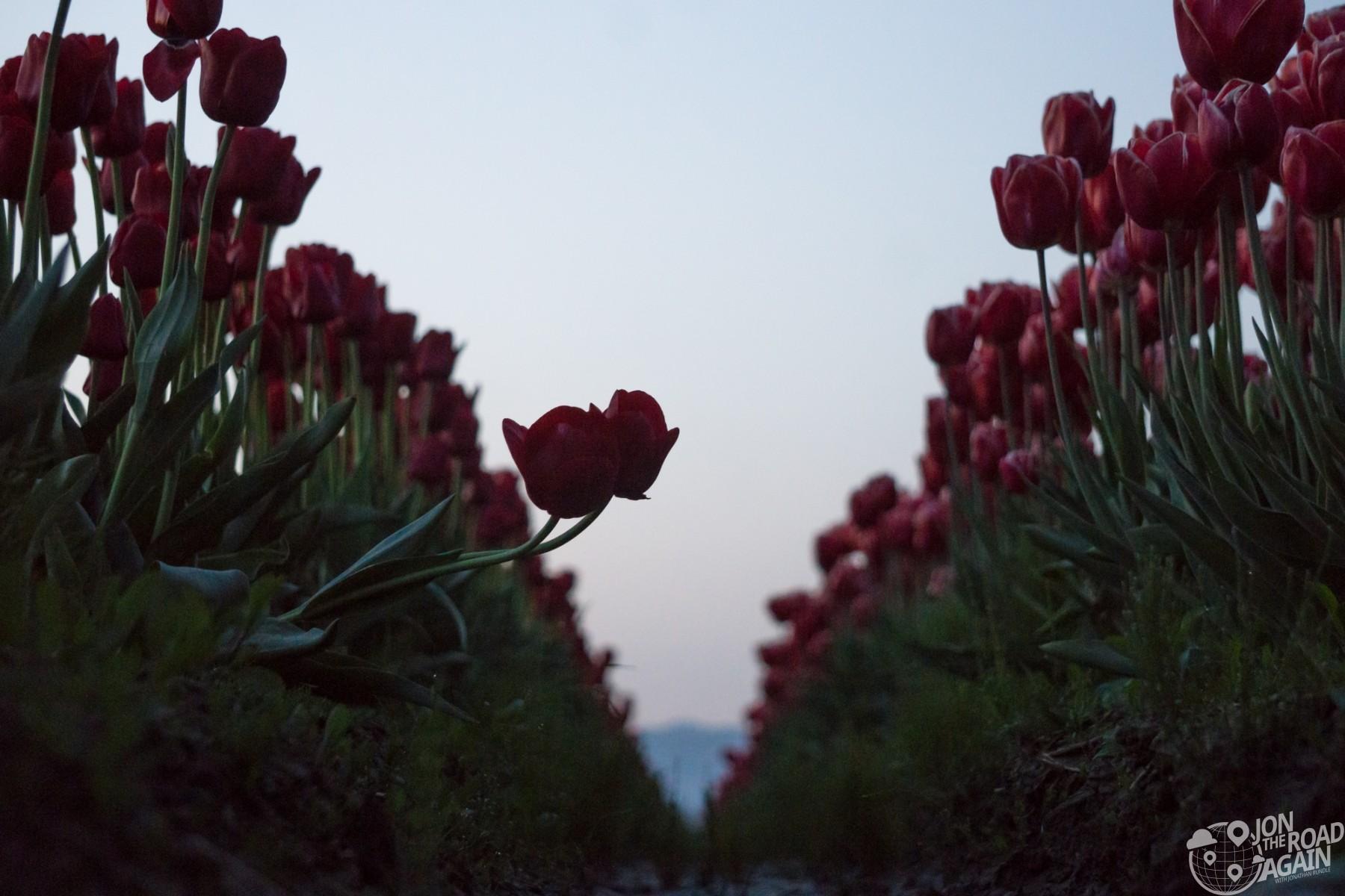 two tulips in field