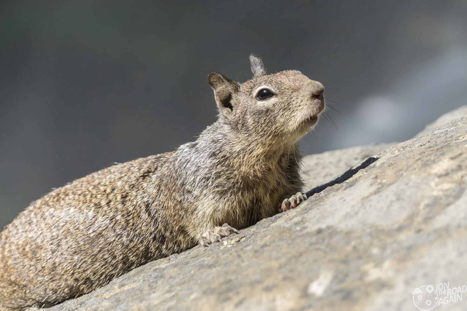 Yosemite California Ground Squirrel