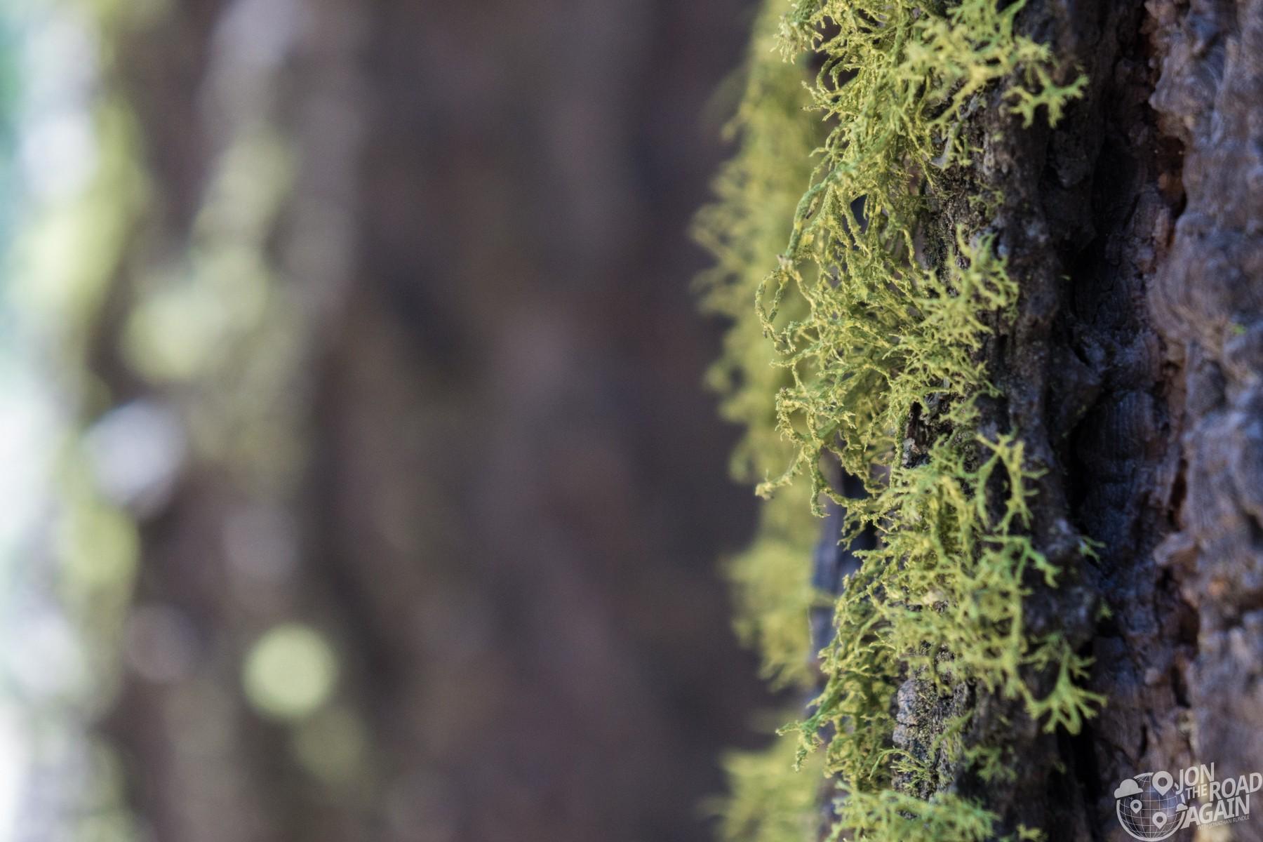 Mariposa Grove Moss