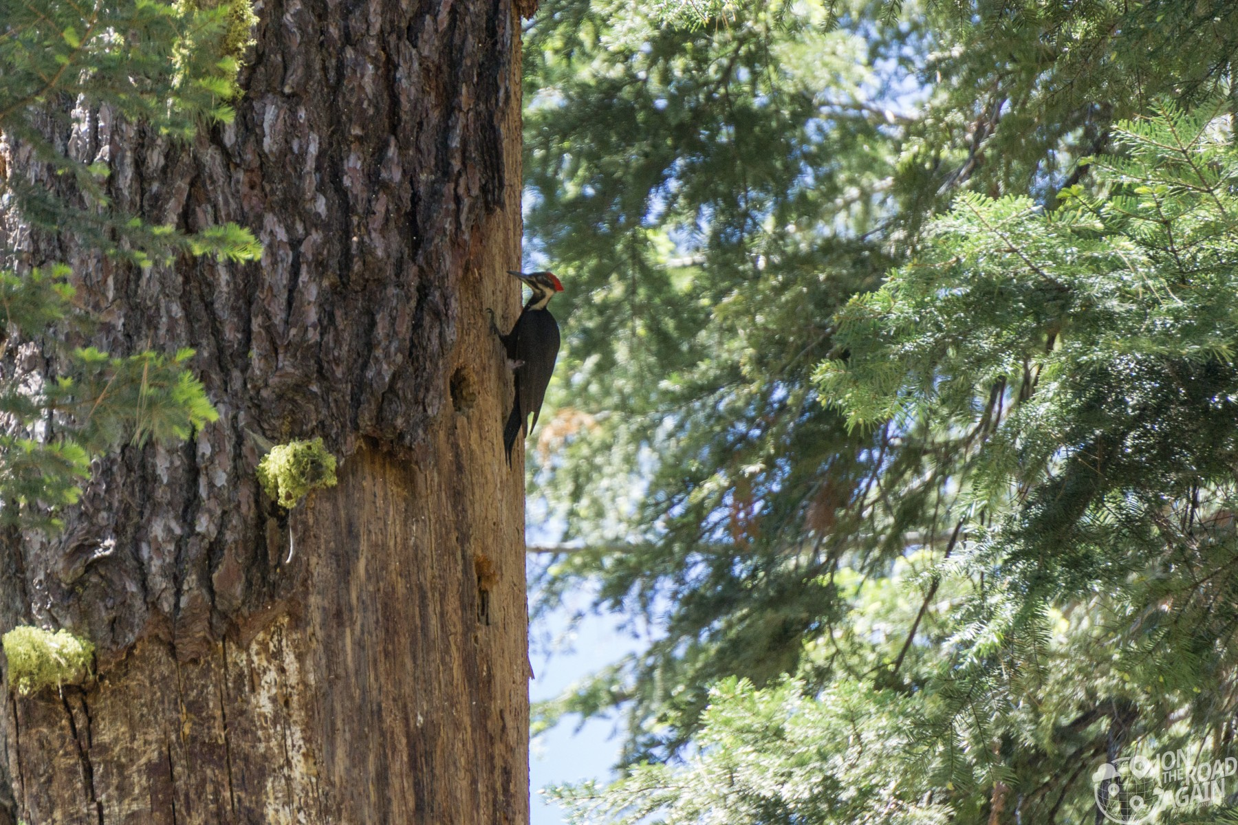 Mariposa Grove Woodpecker