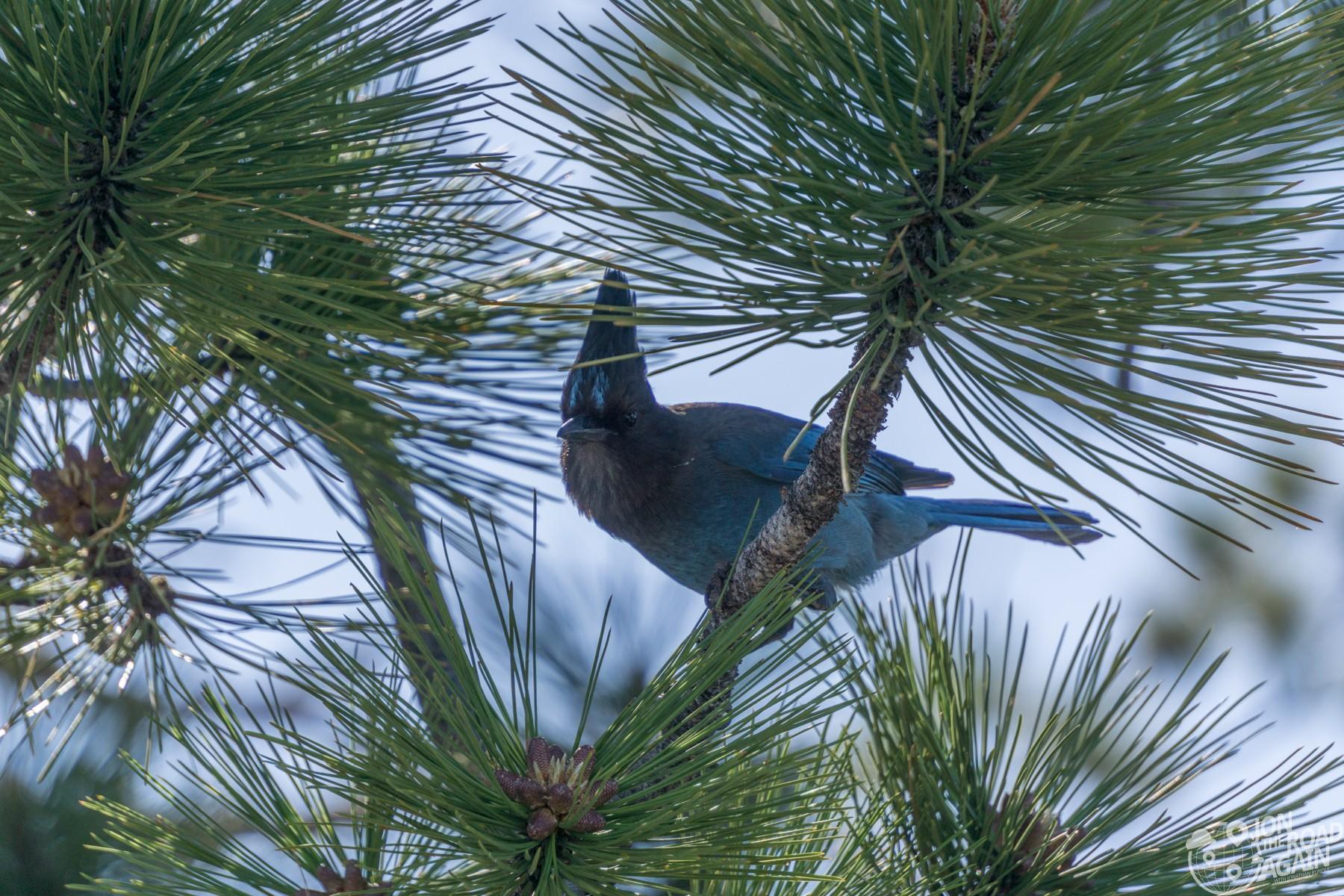 Bluebird at Glacier Point