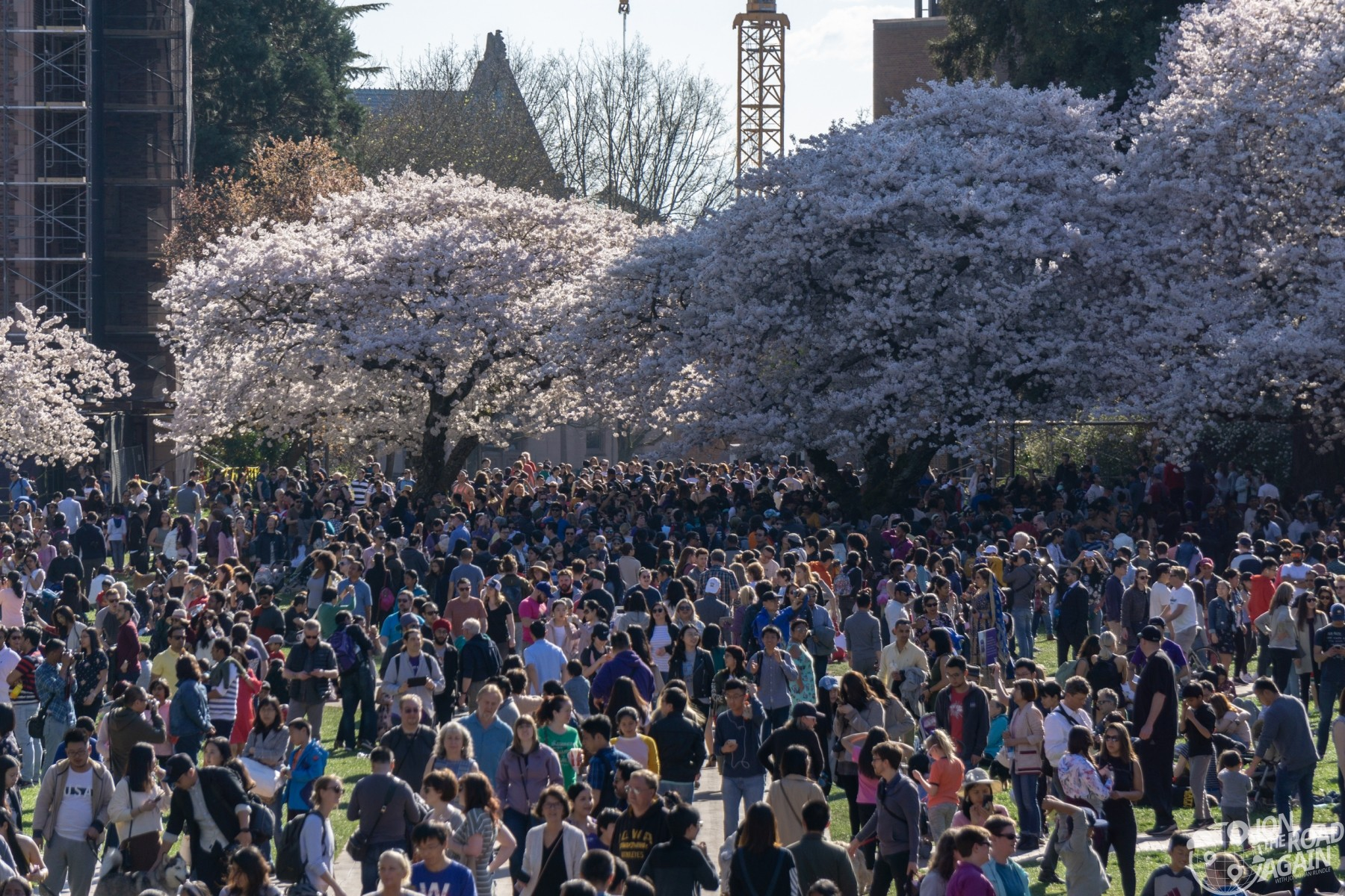 UW Cherry Blossoms