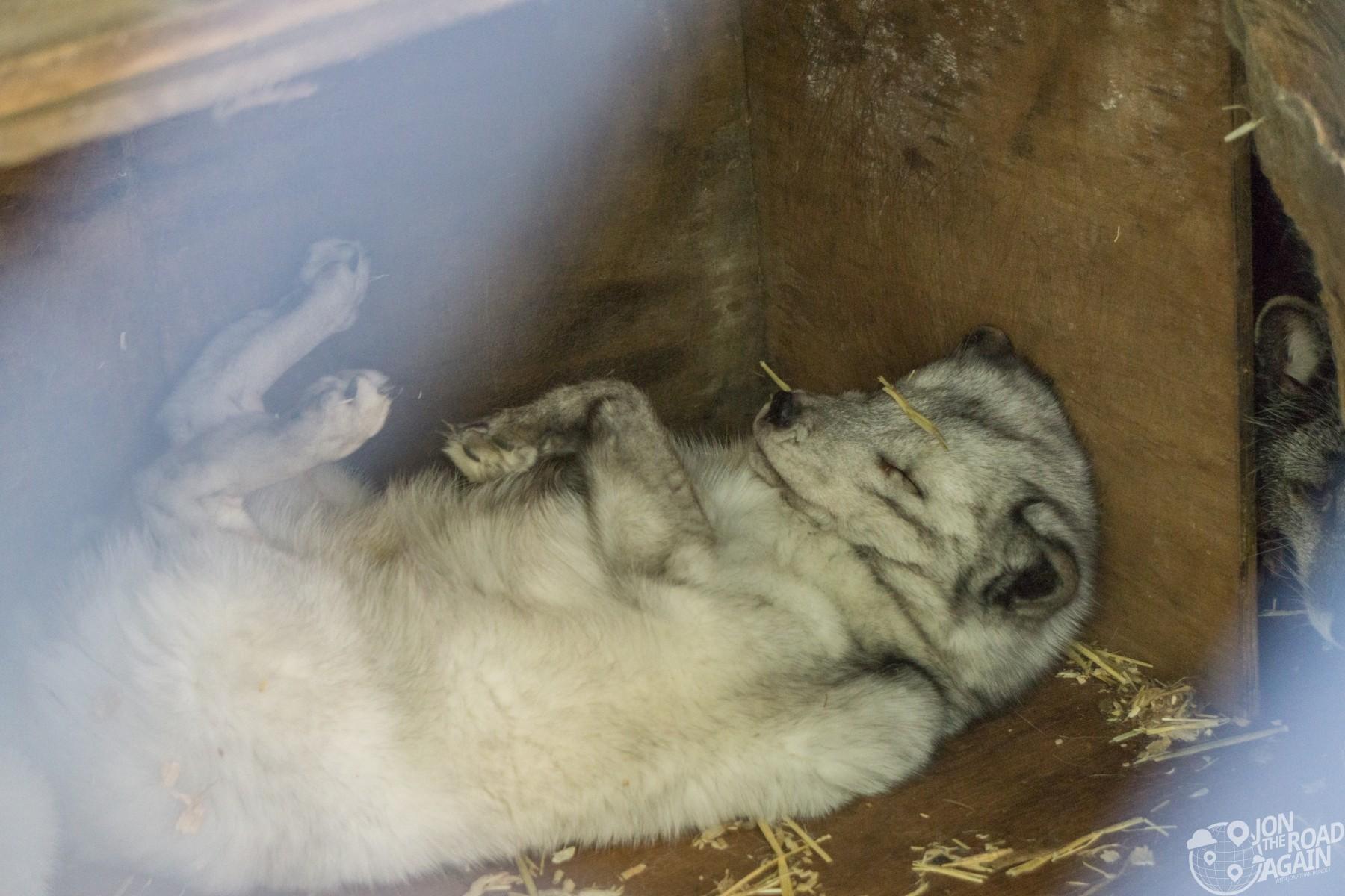 captive fox sleeping