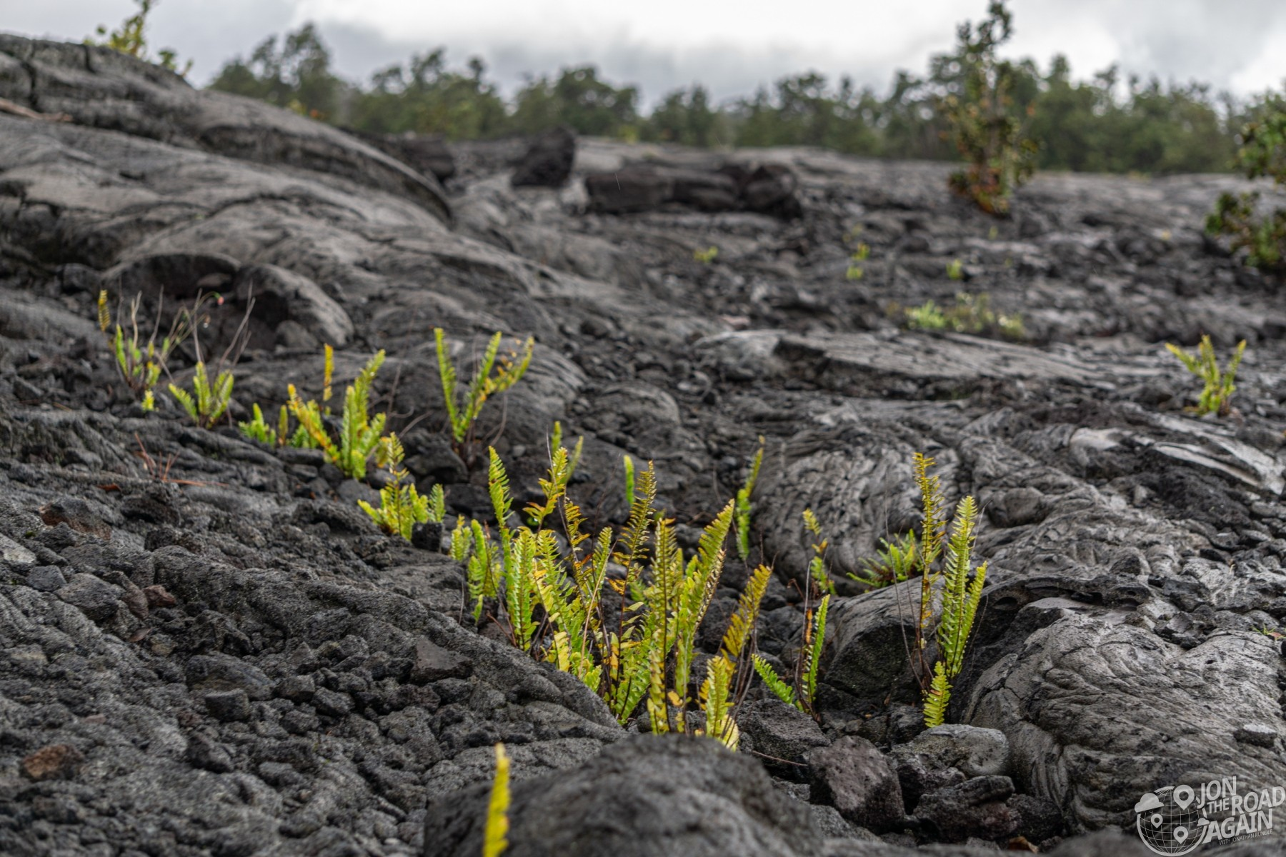 Vegetation in lava field at Volcanoes National Park