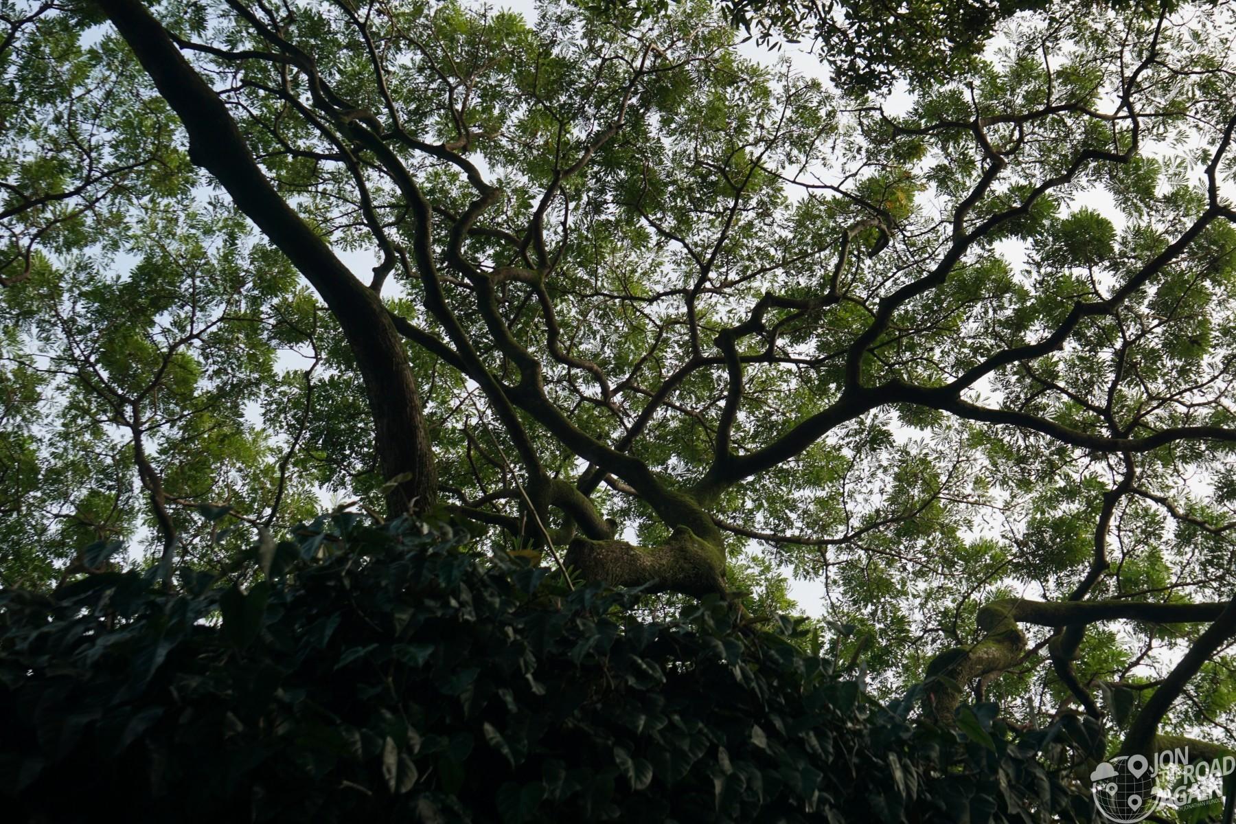 Monkeypod trees